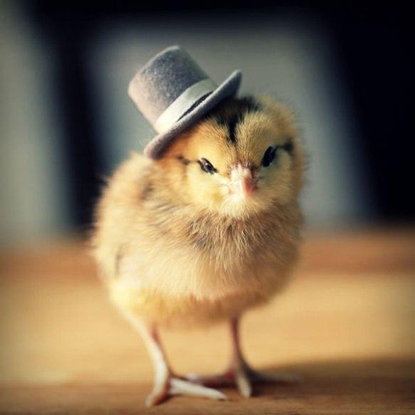 pollitos-sombreros-fotos-curiosas6
